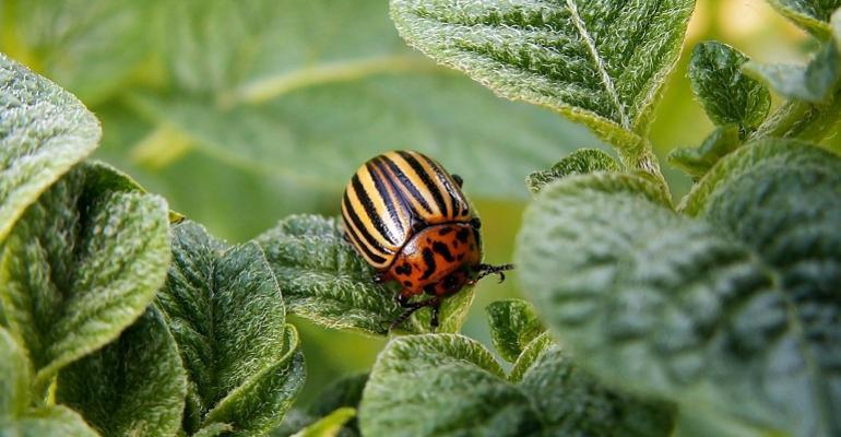 colorado-potato-beetle-582966_1920.jpg